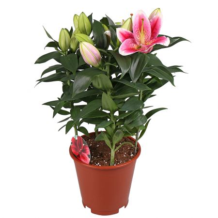Product Lily in a pot