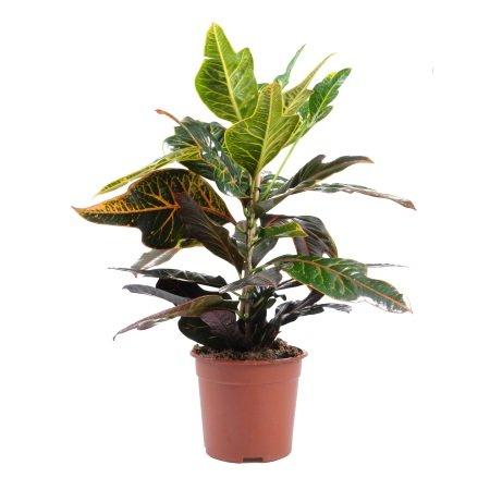 Product Croton