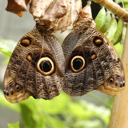 Product Butterfly Caligo