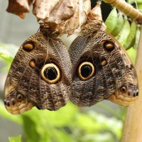Product Butterfly Caligo