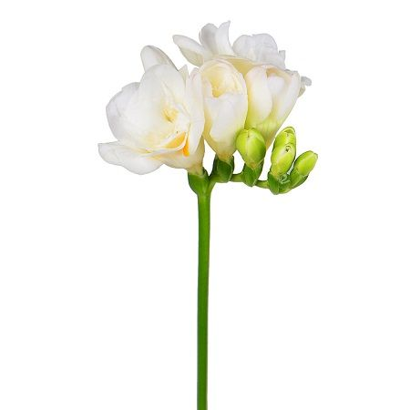 Bouquet White freesia by the piece
