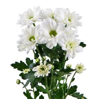 Bouquet White chrysanthemums by the piece (spray)