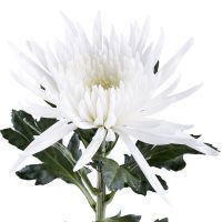 Order white chrysanthemums in our online shop