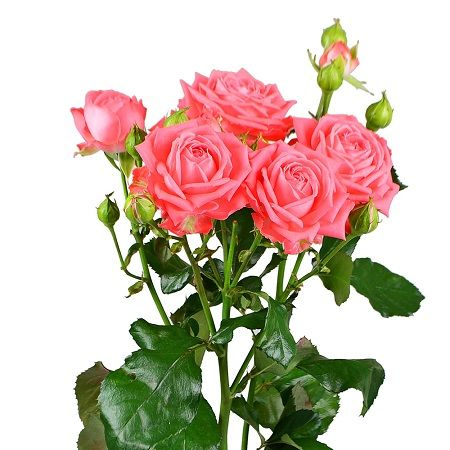 Bouquet Coral spay roses by the piece
