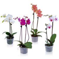 Product Orchid Phalaenopsis