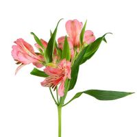 Bouquet Alstroemeria mix by the piece