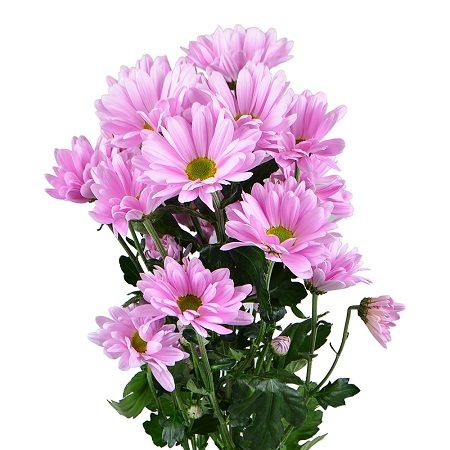 Bouquet Pink chrysanthemum by the piece (spray)