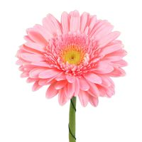 Bouquet Light pink gerberas by the piece